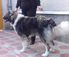 Carpathian Shepherd Dog - Male